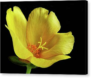 Canvas Print featuring the photograph Portrait Of A Yellow Purslane Flower by David and Carol Kelly