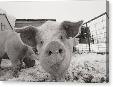 Container Canvas Print - Portrait Of A Young Pig. Property by Joel Sartore