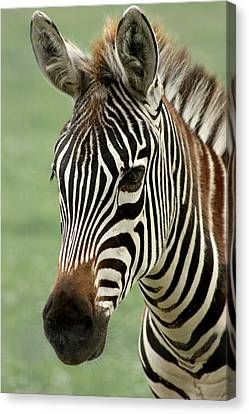 Portrait Of A Zebra Canvas Print by Barbara  White