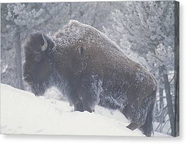 Portrait Of An American Bison Canvas Print by Michael Melford