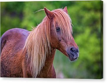 Wild Horse Canvas Print - Portrait Of An Assateague Pony by Rick Berk