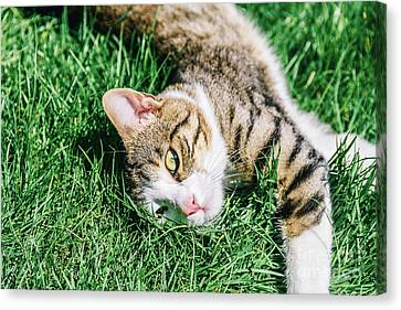 Portrait Of Cute Domestic Tabby Cat Playing In Grass Canvas Print