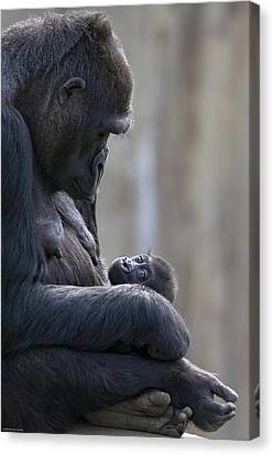 Portrait Of Gorilla Mother Looking Canvas Print by Karine Aigner