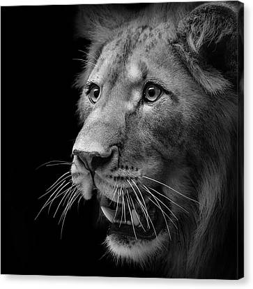 Portrait Of Lion In Black And White II Canvas Print by Lukas Holas