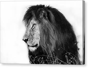 Portrait Of Lion Notch In Masai Mara, Kenya Canvas Print