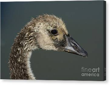 Portrait Of Month Old Canada Goose Gosling Canvas Print by Merrimon Crawford