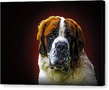 Portrait Of The St. Bernard Canvas Print by Alexey Bazhan