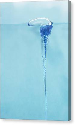 Portugese Man O War Canvas Print