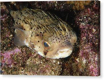 Porupinefish Close-up Portrait Sleeping Canvas Print by James Forte