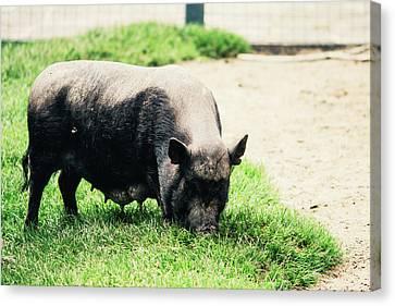 Potbelly Pig On Grass Canvas Print