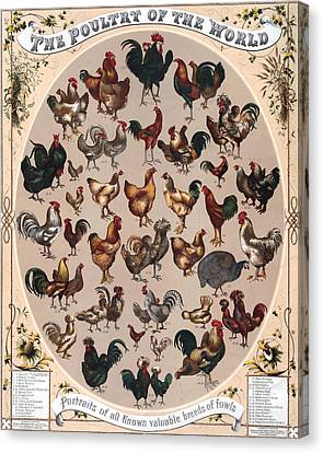 Poultry Of The World Poster Canvas Print