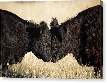 Opposing Forces Canvas Print - Headbutting Bulls In Richmond Park England by Paul Darvell