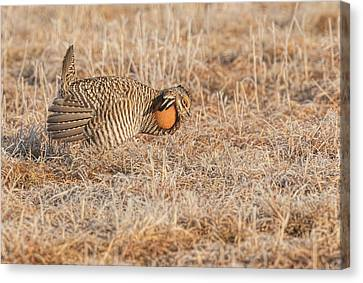 Prairie Chicken 10-2015 Canvas Print by Thomas Young