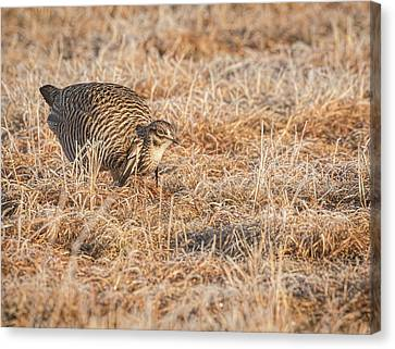 Prairie Chicken 11-2015 Canvas Print by Thomas Young