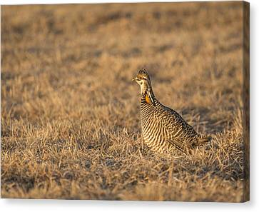 Prairie Chicken 2013-16 Canvas Print by Thomas Young