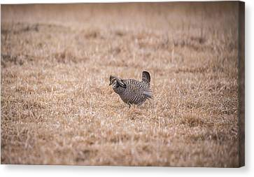 Prairie Chicken 3-2015 Canvas Print by Thomas Young