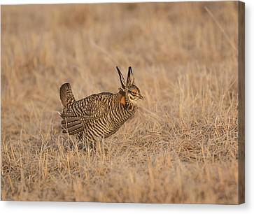 Prairie Chicken 6-2015 Canvas Print