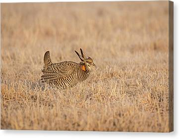 Prairie Chicken 7-2015 Canvas Print by Thomas Young