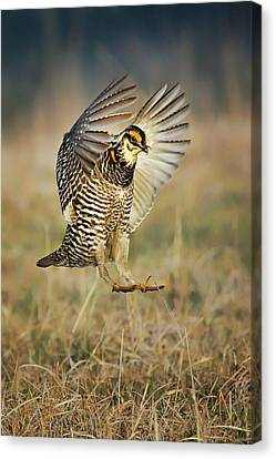 Prairie Chicken - Booming Canvas Print
