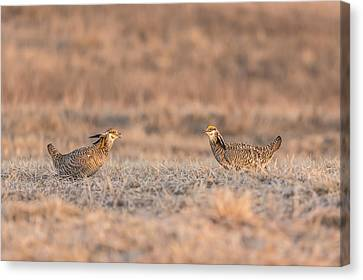 Prairie Chickens 2013-1 Canvas Print by Thomas Young
