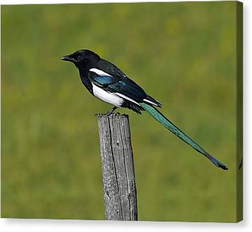 Black-billed Magpie Canvas Print - Prairie Perch by Tony Beck
