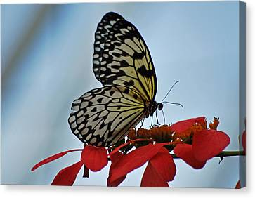 Praying Butterfly Canvas Print by Teresa Blanton