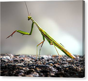 Educational Canvas Print - Praying Mantis  by Bob Orsillo