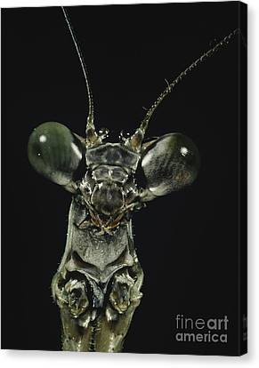 Praying Mantis Canvas Print by Darwin Dale