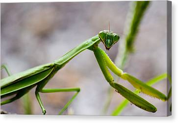 Praying Mantis Looking Canvas Print