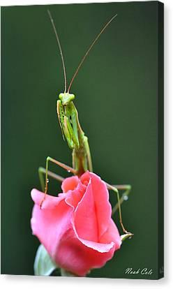 Praying Mantis Canvas Print by Noah Cole