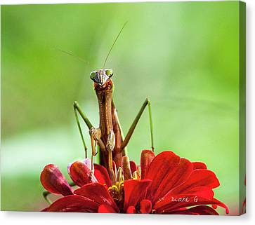 Praying Mantis On Zinnia Canvas Print