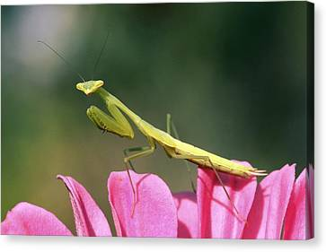 Praying Mantis Canvas Print by Photostock-israel