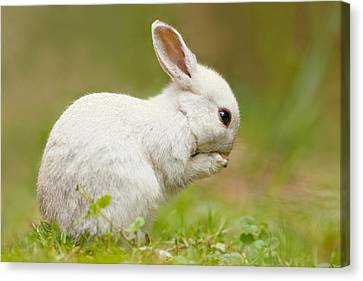 Threatening Canvas Print - Praying White Rabbit by Roeselien Raimond