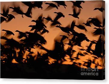 Pre-dawn Flight Of Snow Geese Flock Canvas Print by Max Allen
