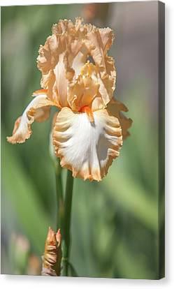 Precious Halo. The Beauty Of Irises Canvas Print