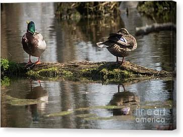 Canvas Print featuring the photograph Preening Ducks by David Bearden