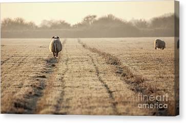 Pregnant Sheep Walking The Track Canvas Print by Simon Bratt Photography LRPS