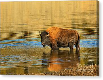 Canvas Print featuring the photograph Preparing To Swim The Yellowstone by Adam Jewell