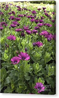 Prescott Park - Portsmouth New Hampshire Osteospermum Flowers Canvas Print by Erin Paul Donovan
