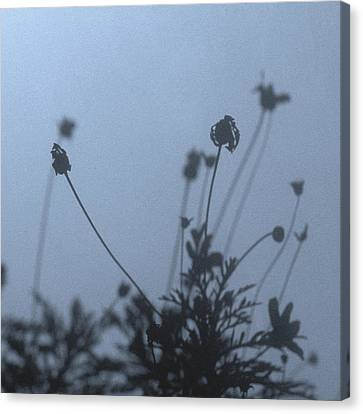Pressed Daisy Bush Blue Canvas Print by Stan Magnan