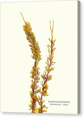 Epiphyte Canvas Print - Pressed Seaweed Print, Ascophyllum Nodosum, Popham Beach, Maine. by John Ewen