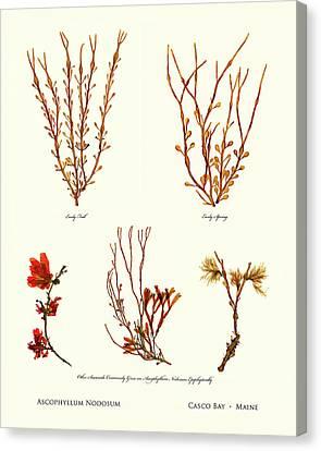 Epiphyte Canvas Print - Pressed Seaweed Print, Ascophyllum Nodosum Specimens, Casco Bay, Maine. by John Ewen