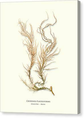 Epiphyte Canvas Print - Pressed Seaweed Print, Chordaria Flagelliformis, Casco Bay, Maine. by John Ewen