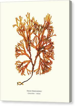 Epiphyte Canvas Print - Pressed Seaweed Print, Fucus Vesiculosus, Casco Bay, Maine. #34 by John Ewen