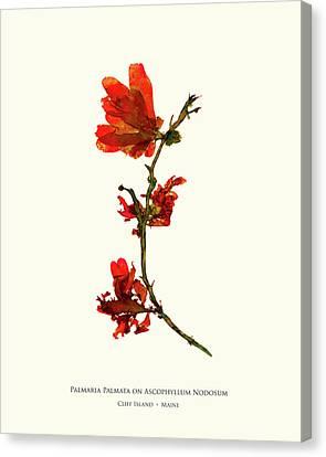 Epiphyte Canvas Print - Pressed Seaweed Print, Palmaria Palmata On Ascophyllum Nodosum, Cliff Island, Maine. by John Ewen