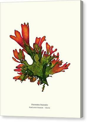 Epiphyte Canvas Print - Pressed Seaweed Print, Palmaria Palmata, Portland Harbor, Maine. #25 by John Ewen