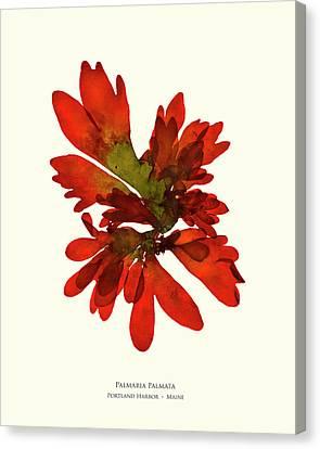 Epiphyte Canvas Print - Pressed Seaweed Print, Palmaria Palmata, Portland Harbor, Maine.  #28 by John Ewen