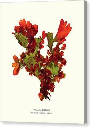 Epiphyte Canvas Print - Pressed Seaweed Print, Palmaria Palmata, Portland Harbor, Maine.  #37 by John Ewen