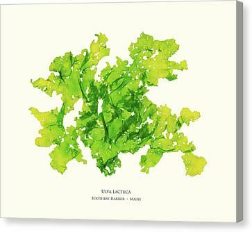 Epiphyte Canvas Print - Pressed Seaweed Print, Ulva Lactuca, Boothbay Harbor, Maine. #33 by John Ewen