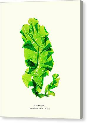 Epiphyte Canvas Print - Pressed Seaweed Print, Ulva Lactuca, Portland Harbor, Maine.  #26 by John Ewen
